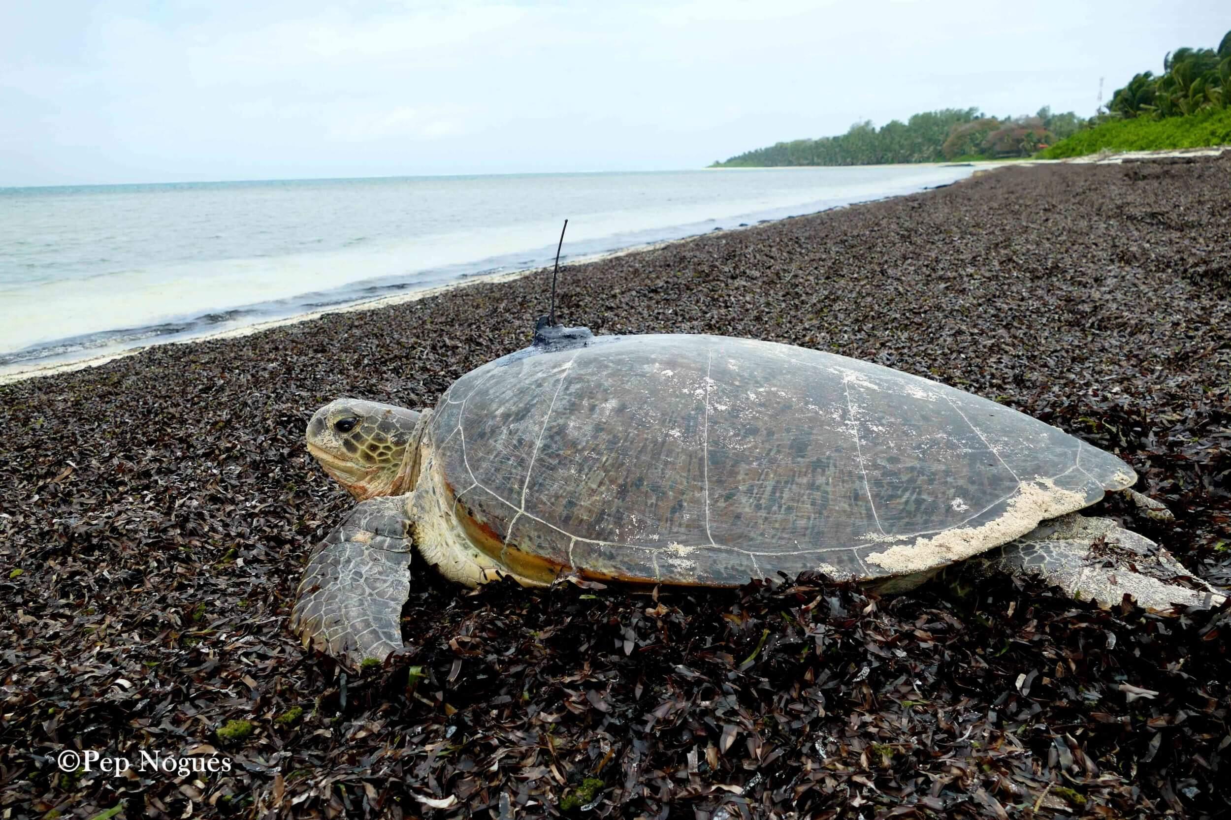 Notre première tortue verte est désormais équipée de balise – 4 août 2017