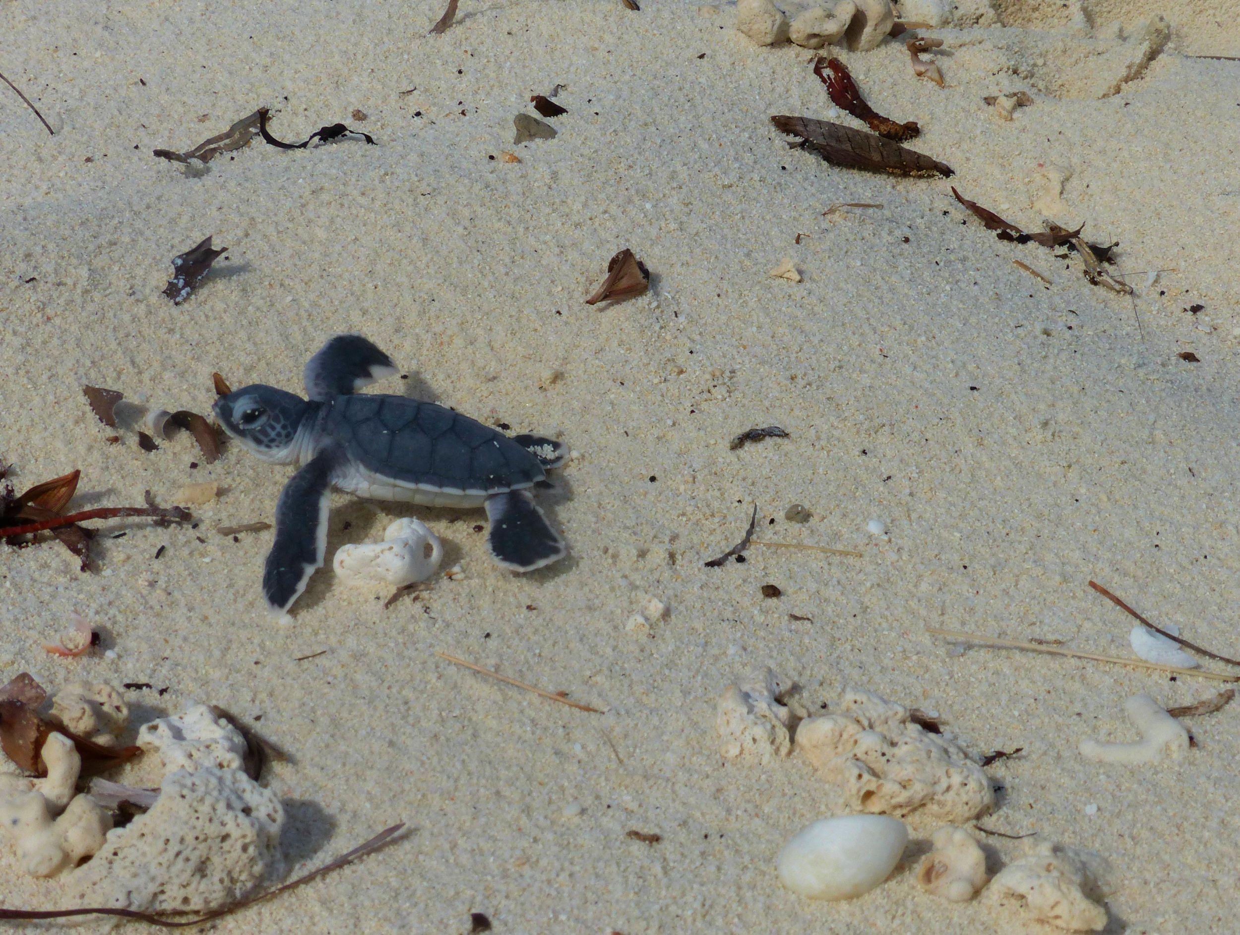 Bébé tortue verte sur la sable