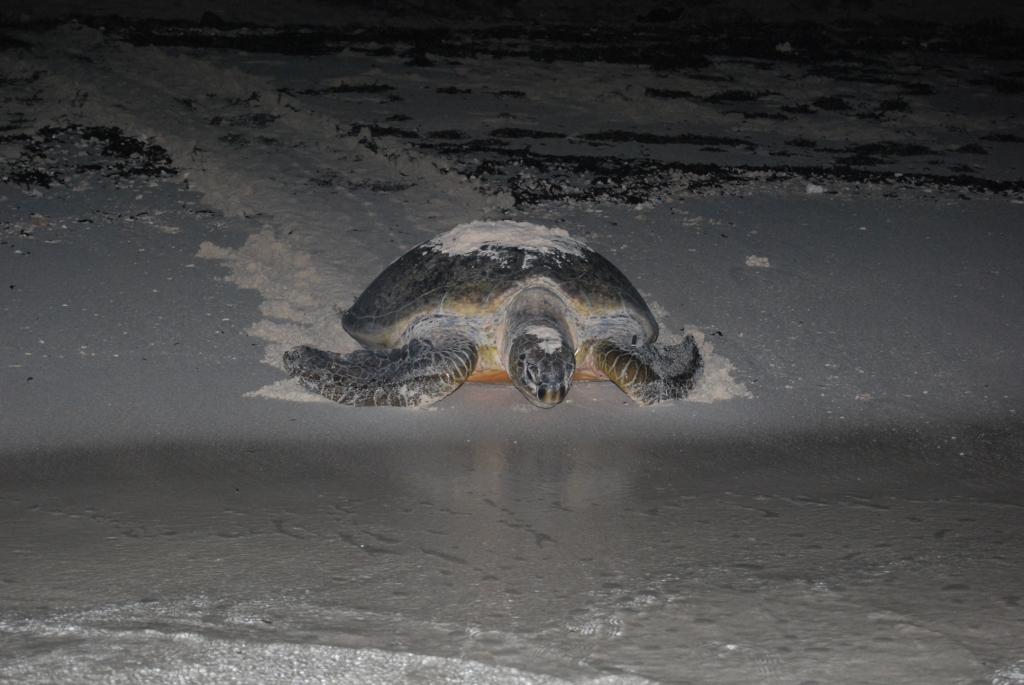 Femelle tortue verte qui retourne à la mer après la ponte