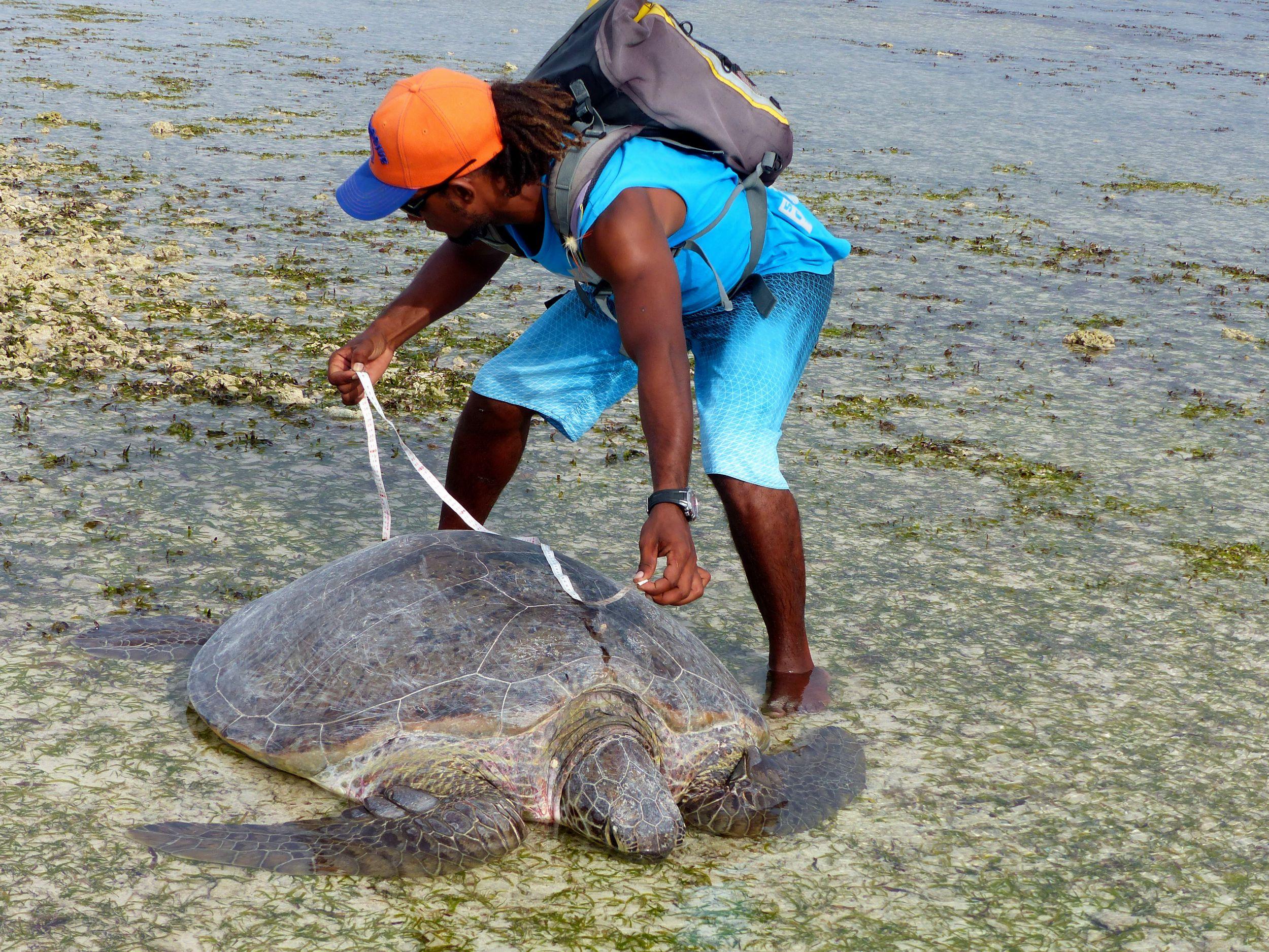 Mesure taille carapace des tortues