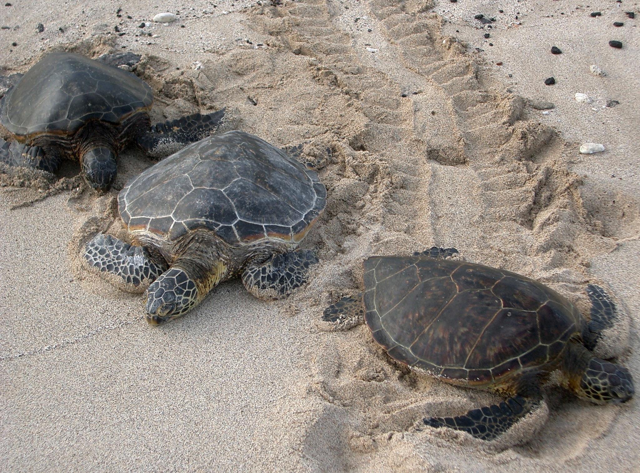 Three_Kona_sea_turtles